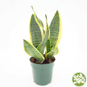 "SANSEVIERIA Laurentii Superba 4"" pot"